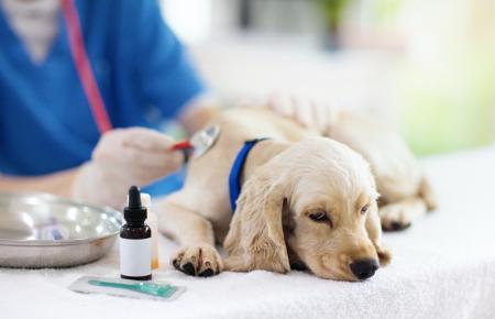 ¿Mi perro puede enfermarse de coronavirus?