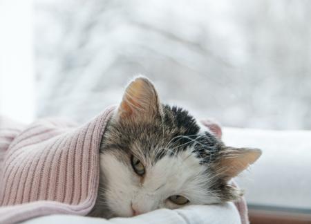 Enfermedades más comunes en los gatos por una mala alimentación