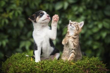 Un gato no es un perro chiquito