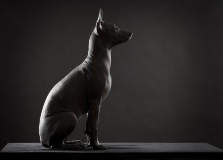 Datos curiosos del Xoloitzcuintle