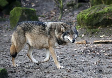 Datos curiosos que no sabías del Lobo Mexicano