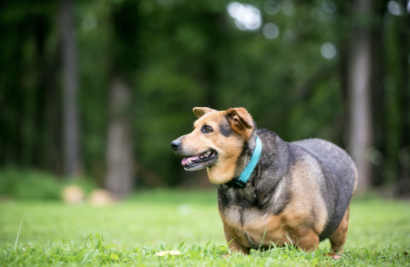 ¿Por qué le da diabetes a un perro?