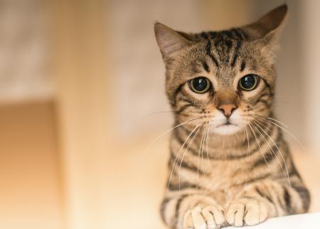 ¿Qué es un gato de interior?