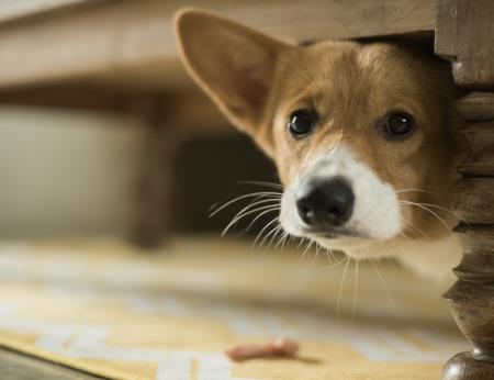 Fobias que probablemente no sabías que presentan los perros