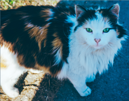 Adoptist: una herramienta para adoptar un gato de acuerdo a color, edad y sexo